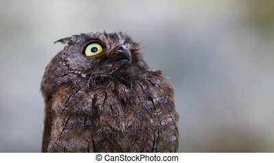 Portrait of Eurasian (European) scops owl in the forest -...