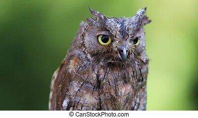 Portrait of Eurasian (European) scops owl sitting on a...