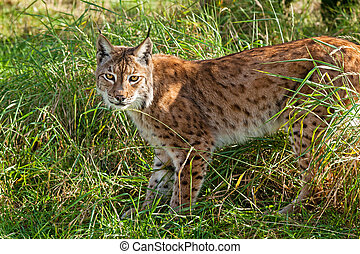 Eurasian Lynx Standing in Long Grass