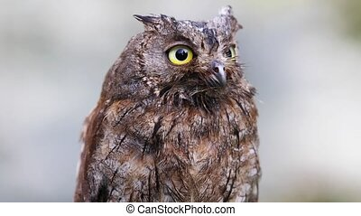 Portrait of Eurasian scops owl in the forest - The owl sits...