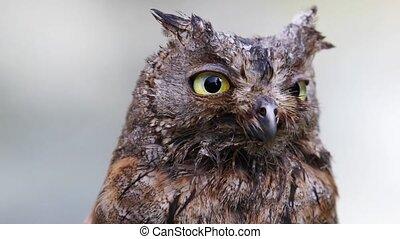 Portrait of Eurasian scops owl - Portrait of Eurasian...