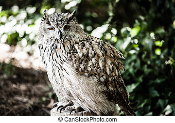 Portrait of European eagle owl ( HDR image )