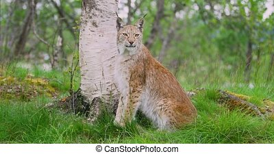 Portrait of european lynx sitting in the forest - Portrait...