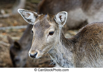 Portrait of fallow deer (Dama dama), female