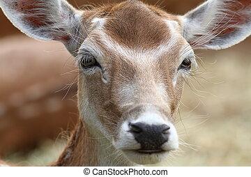 portrait of fallow deer hind