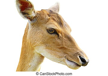 portrait of fallow deer hind isolated over white ( Dama female )
