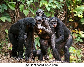 Portrait of family of a Chimpanzee bonobo ( Pan paniscus). Democratic Republic of Congo. Africa