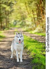 Siberian Husky - portrait of female Siberian Husky