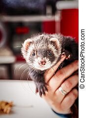 Portrait of ferret sitting in woman's hand and looking forward.