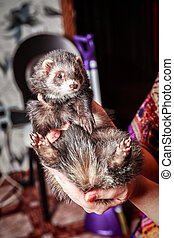 Portrait of ferret sitting on woman's hand and looking forward.