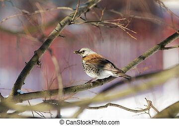 fieldfare on a tree branch