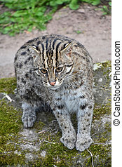Portrait of fishing cat looking at camera