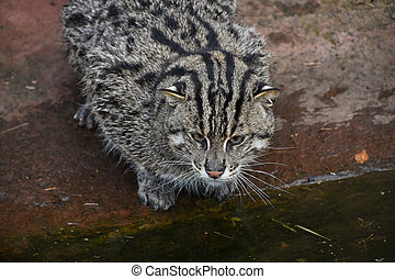 Portrait of fishing cat looking away