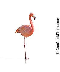 Portrait Of Flamingo Bird Isolated On White Background