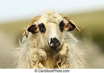 portrait of fluffy ram