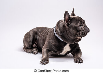 Portrait of french bulldog looking curious to the right side while laying down