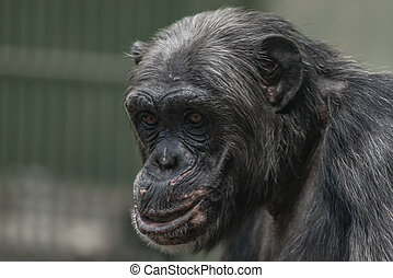Portrait of funny and emotional Chimpanzee. close up