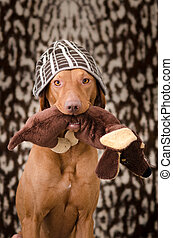 Portrait of funny hungarian hound vizsla dog in human cap on his head