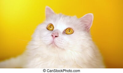Portrait of furry cat is licking on yellow background.style,...