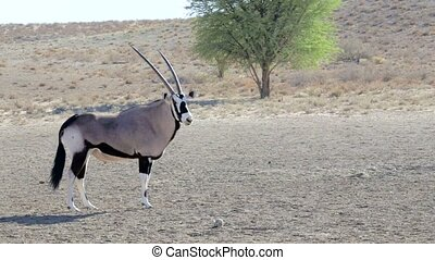 portrait of Gemsbok, Oryx gazella,dominant Gemsbok antelope...
