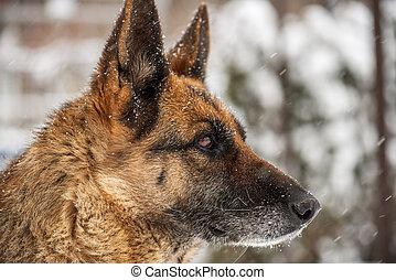 German Shepherd Dog in Snow.