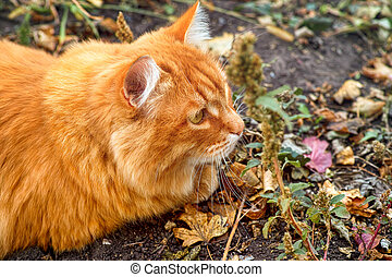 Portrait of ginger cat hunting outdoors in autumn