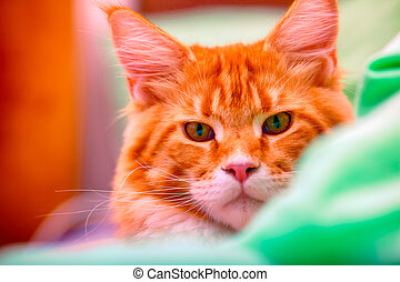 Portrait of ginger Maine Coon cat.