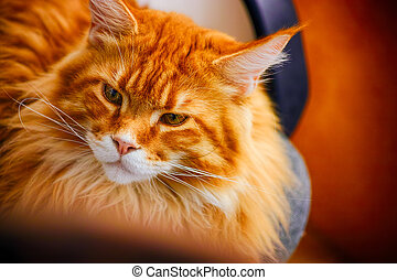 Portrait of ginger Maine Coon cat