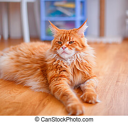 Portrait of Ginger Maine Coon cat lying on parquet floor.
