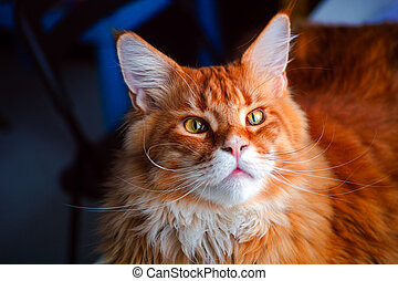 Portrait of ginger Maine Coon.