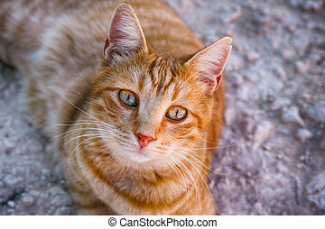 Portrait of ginger tabby cat looking at camera.