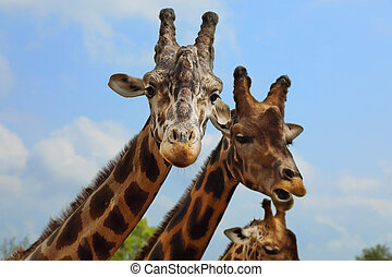 Portrait of giraffe on blue sky background