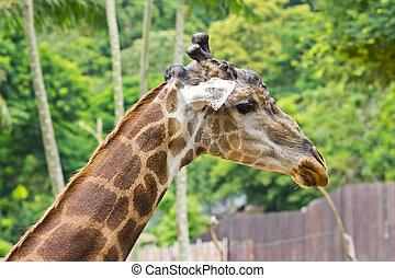 portrait of giraffe