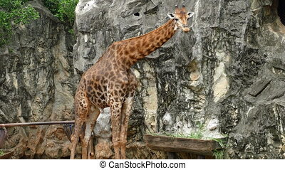 giraffe sticking out tongue and licking lips in nature -...