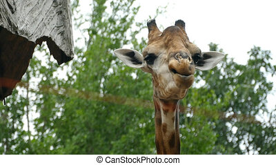 giraffe sticking out tongue and licking lips - Portrait of...