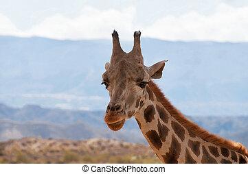 Portrait of giraffe watching on you