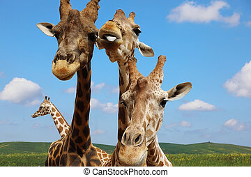 Portrait of giraffes against the blue sky
