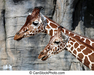 Portrait of giraffes in front of a rocky background