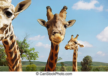 Portrait of giraffes on blue sky background