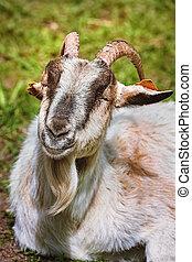 Portrait of goat - Close-up portrait of a goat