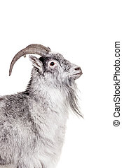 Goat Isolated On White