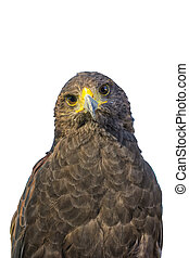 Portrait of golden eagle (Aquila chrysaetos) on a white background
