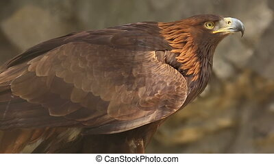 Golden eagle - Portrait of Golden eagle (Aquila chrysaetos)