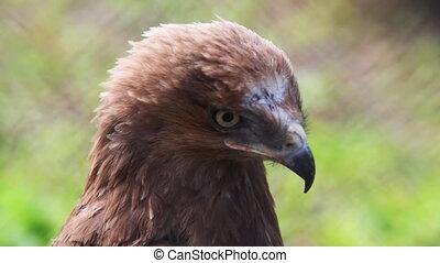 portrait of golden eagle in zoo - beautiful portrait of...