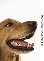 Portrait of Golden Retriever dog.