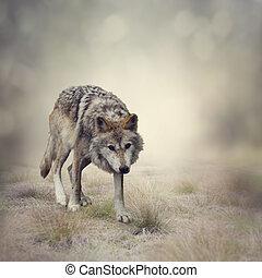 Gray Wolf Walking