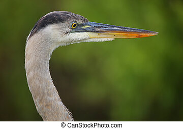 Portrait of Great Blue Heron. It is the largest North...