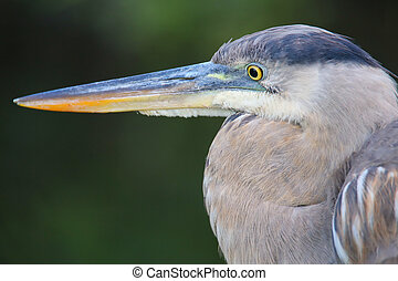 Portrait of Great Blue Heron. It is the largest North American heron.