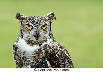 Great Horned Owl (Bubo virginianus) - Portrait of Great ...