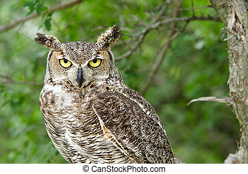 Great Horned Owl - Portrait of Great Horned Owl (Bubo...